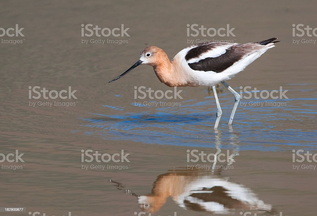 American Avocet foraging in a Pond stock photo