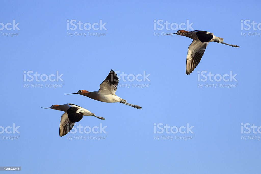 3 American Avocets in Flight royalty-free stock photo