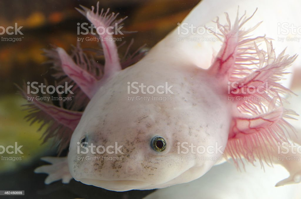 American Axoloto salamander newt stock photo
