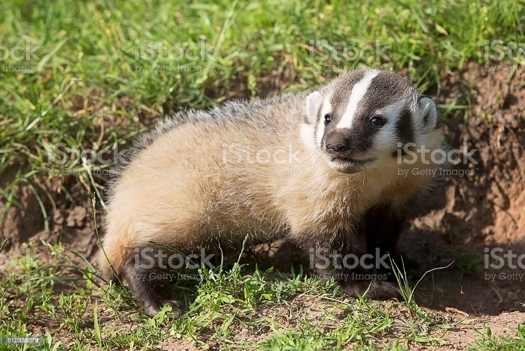 American Badger stock photo