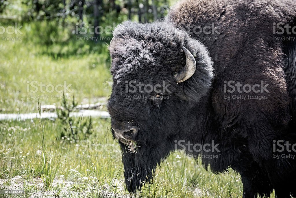 American Baffalo Portrait in Yellowstone National Park royalty-free stock photo