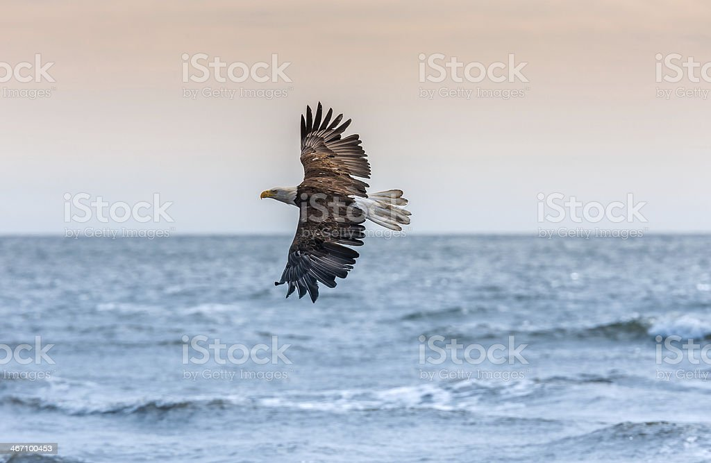 American Bald Eagle at Alaska royalty-free stock photo