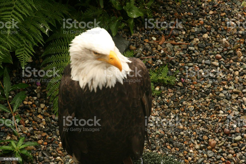 American Bald Eagle Close Up stock photo