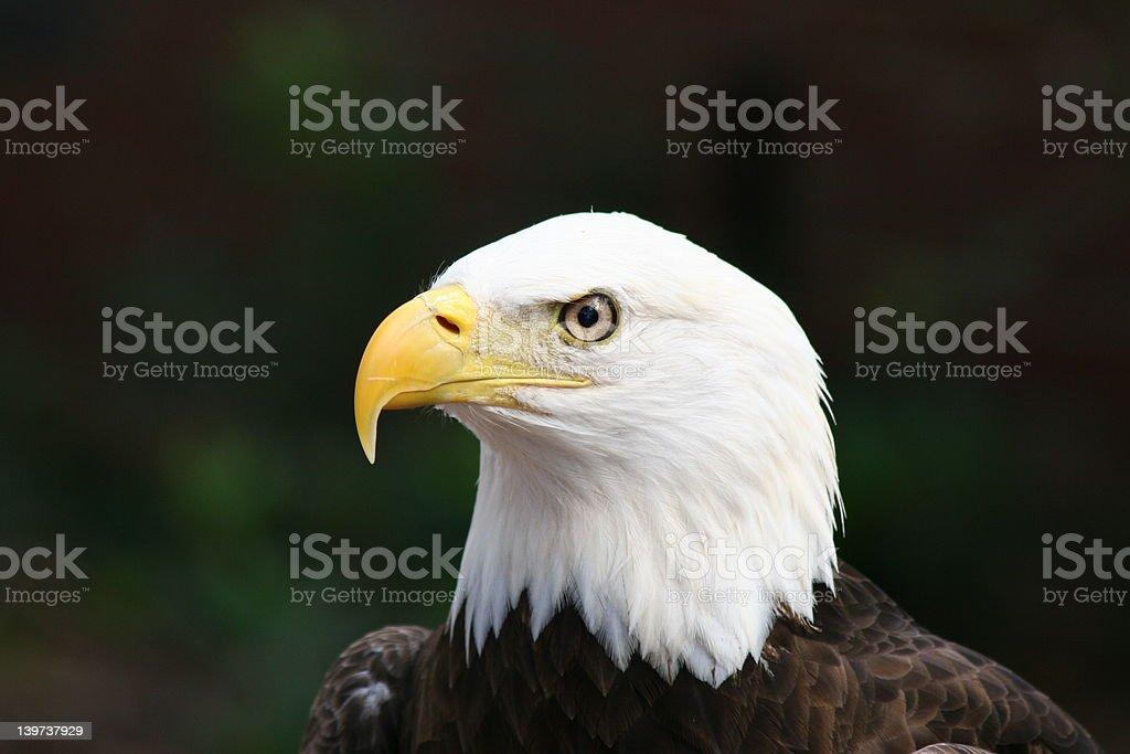 American águila calva de foto de stock libre de derechos