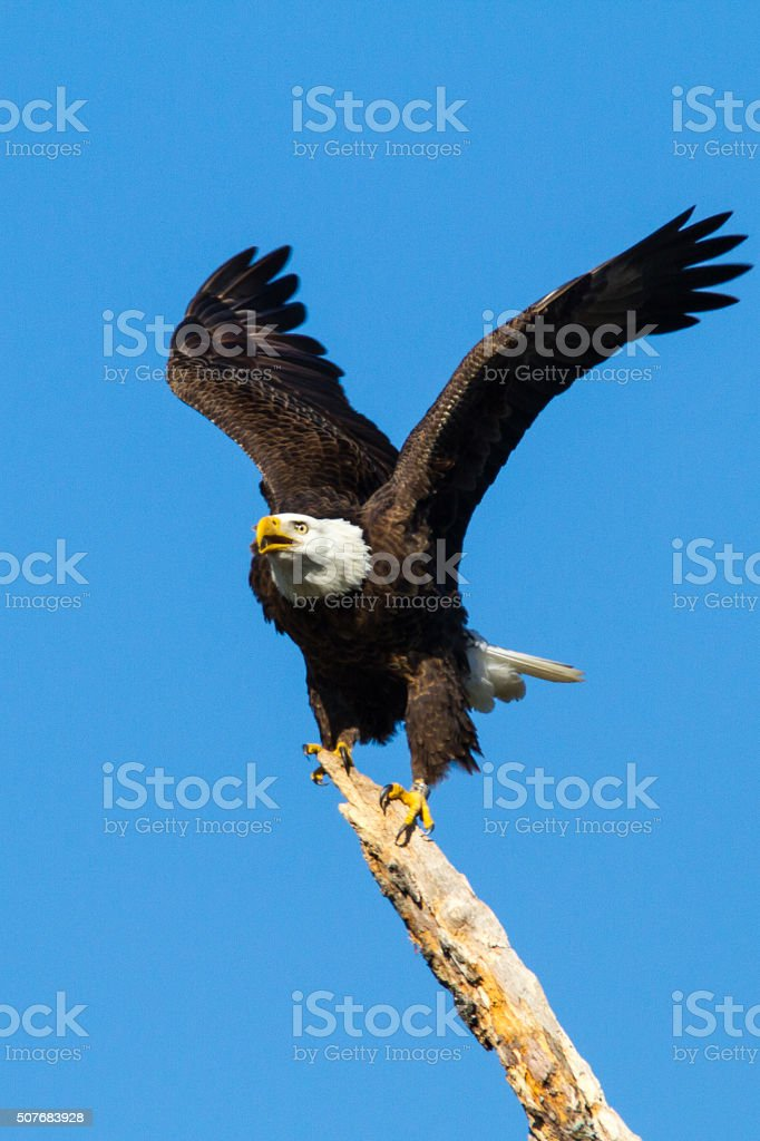American bald eagle landing on a perch stock photo