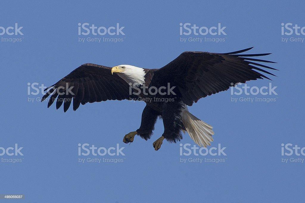 American Bald Eagle Landing stock photo