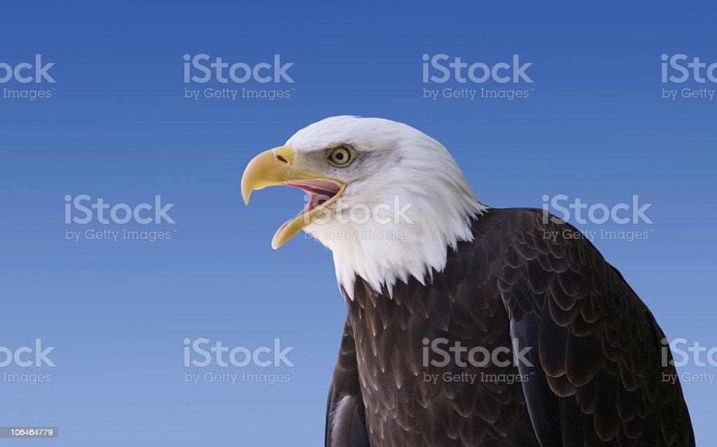 American Bald Eagle on Blue stock photo