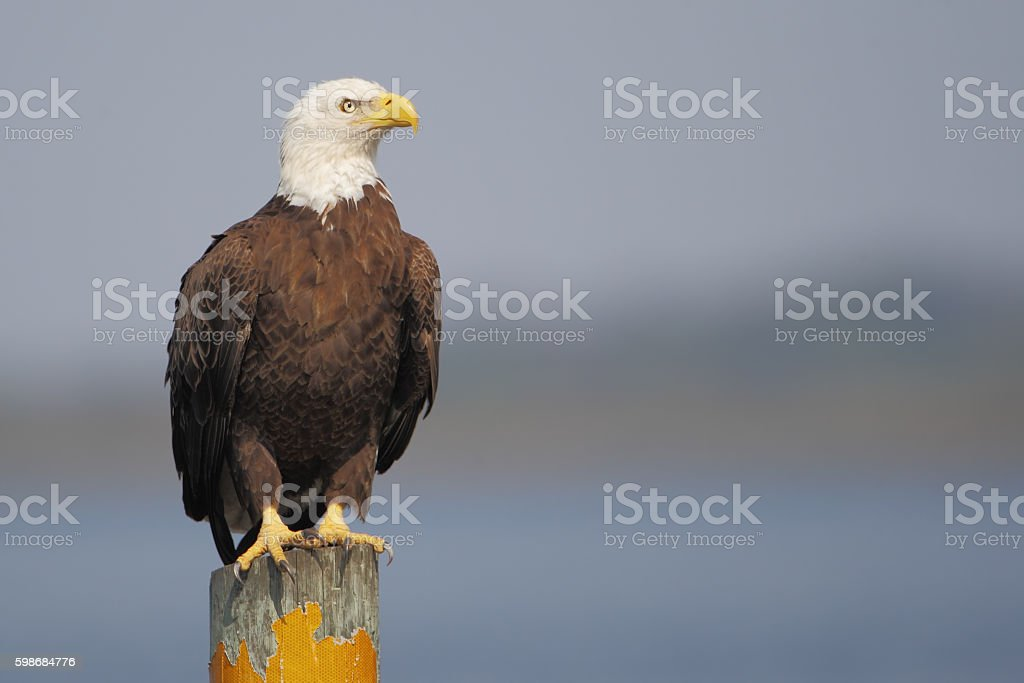 American Bald Eagle (Haliaeetus leucocephalus) on post, Florida, USA stock photo