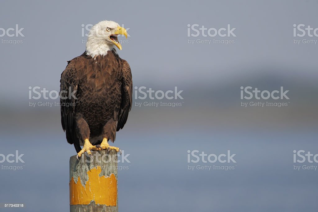 American Bald Eagle (Haliaeetus leucocephalus) on post screaming, Florida, USA stock photo