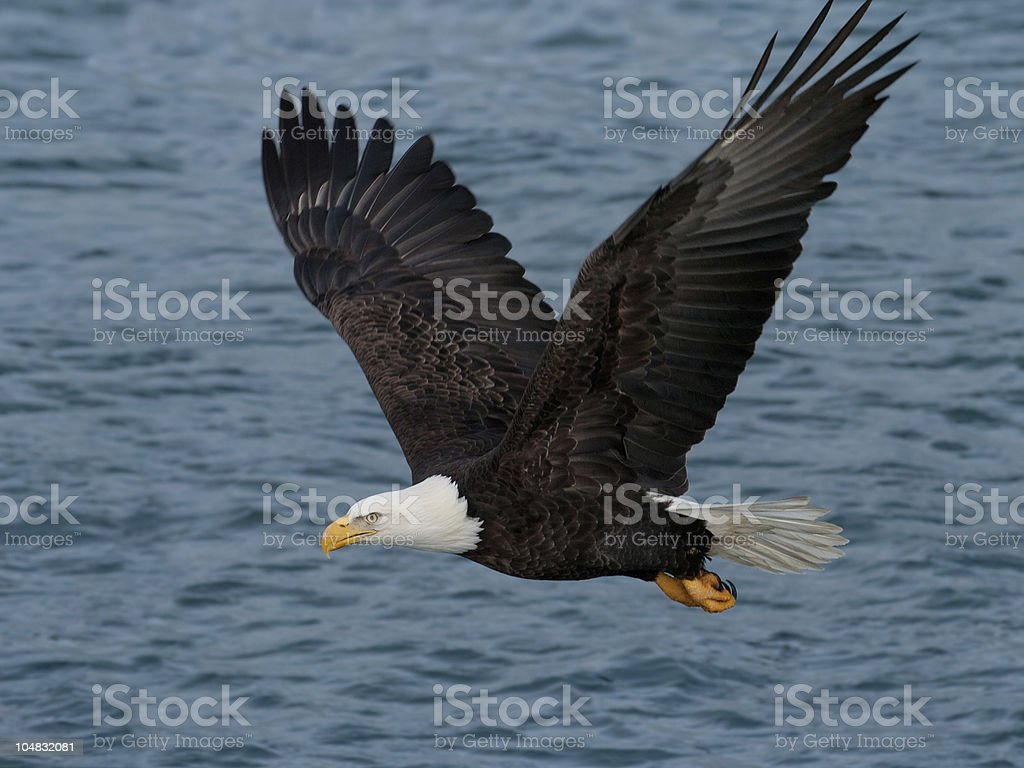 american bald eagle over alaskan waters royalty-free stock photo