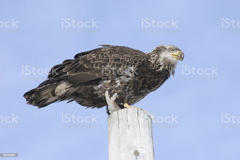 American Bald Eagle Perched royalty-free stock photo