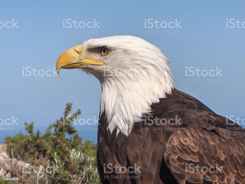 American Bald Eagle royalty-free stock photo