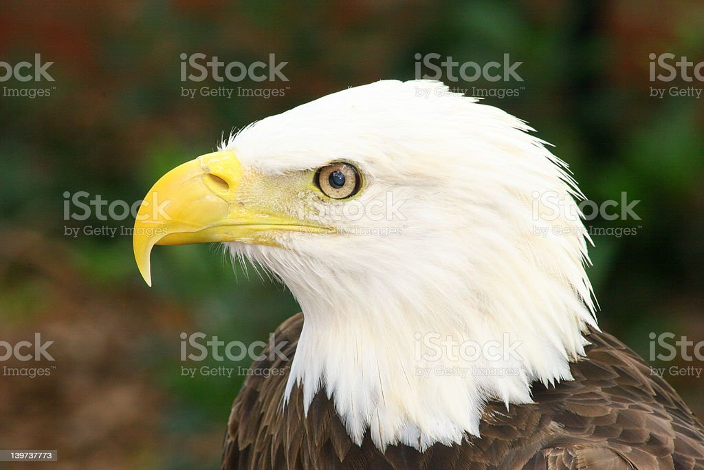 American águila calva foto de stock libre de derechos