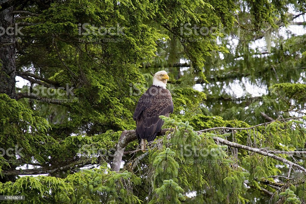 American bald eagle royalty-free stock photo
