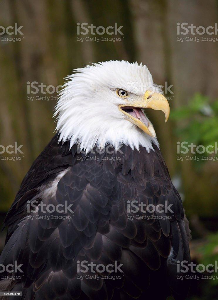 American Bald Aigle photo libre de droits
