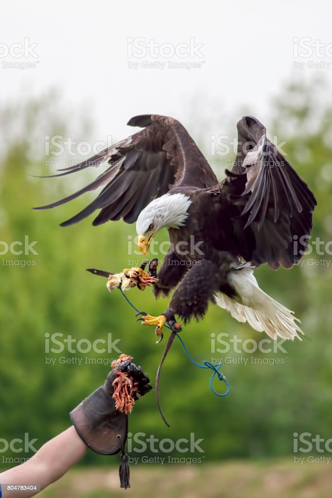 American bald eagle with falconer. Bird of prey at falconry display. stock photo