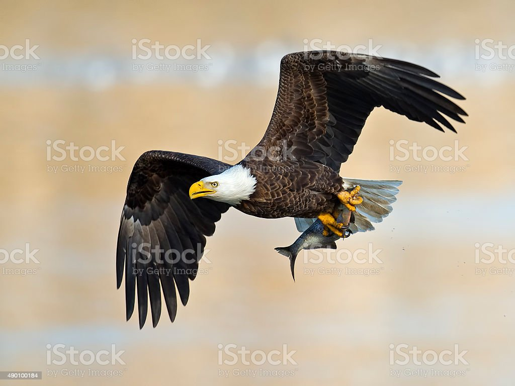 American Bald Eagle with Fish stock photo