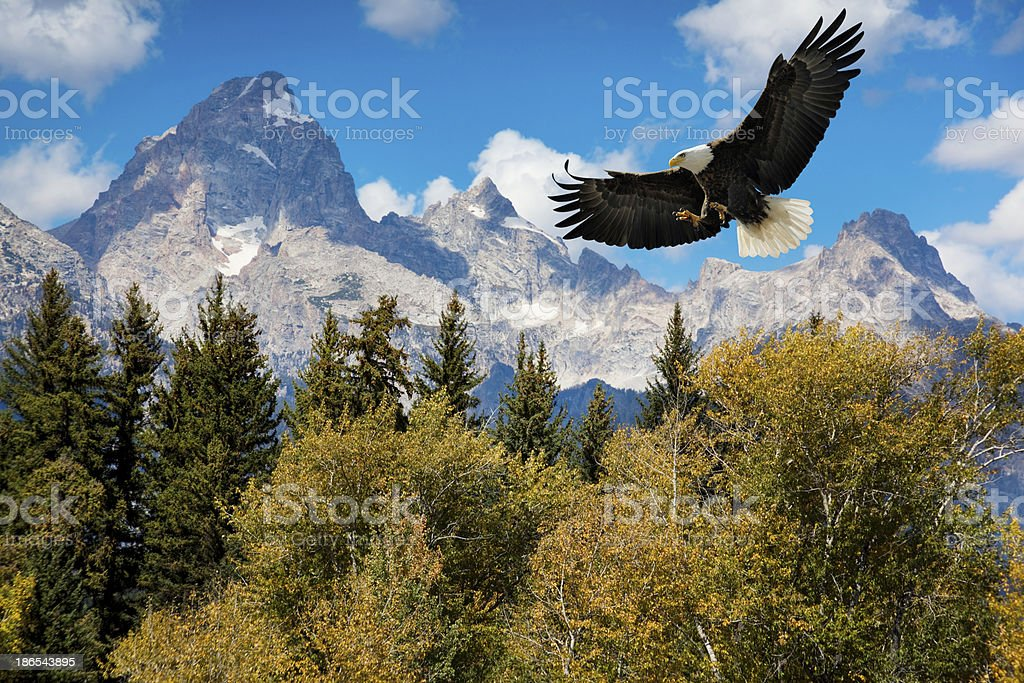 American Bald Eagle With Magestic Grand Tetons Mountains stock photo