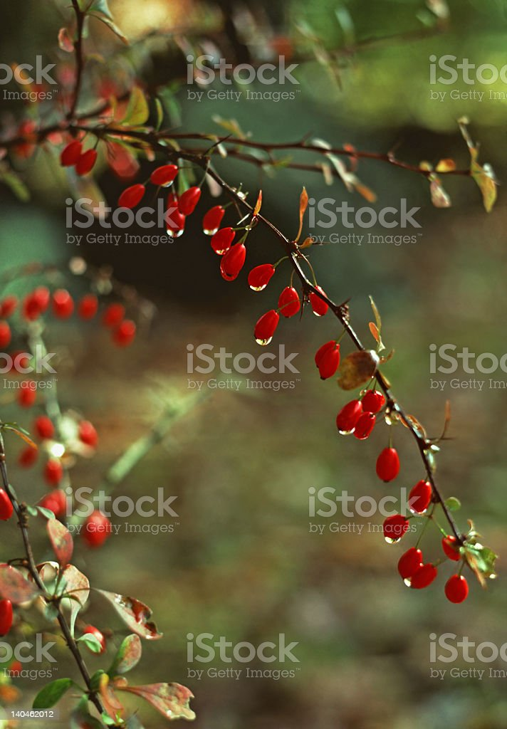 American Barberry (Berberis canadensis) in Autumn with Dew stock photo