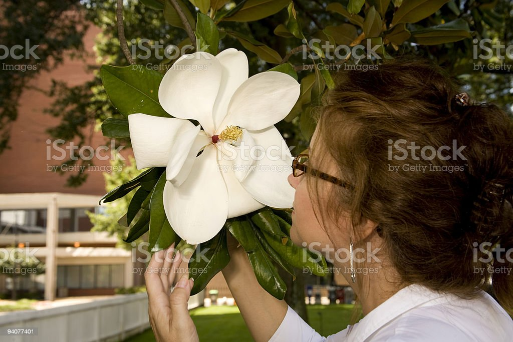 American beauty Magnolia Bloom royalty-free stock photo