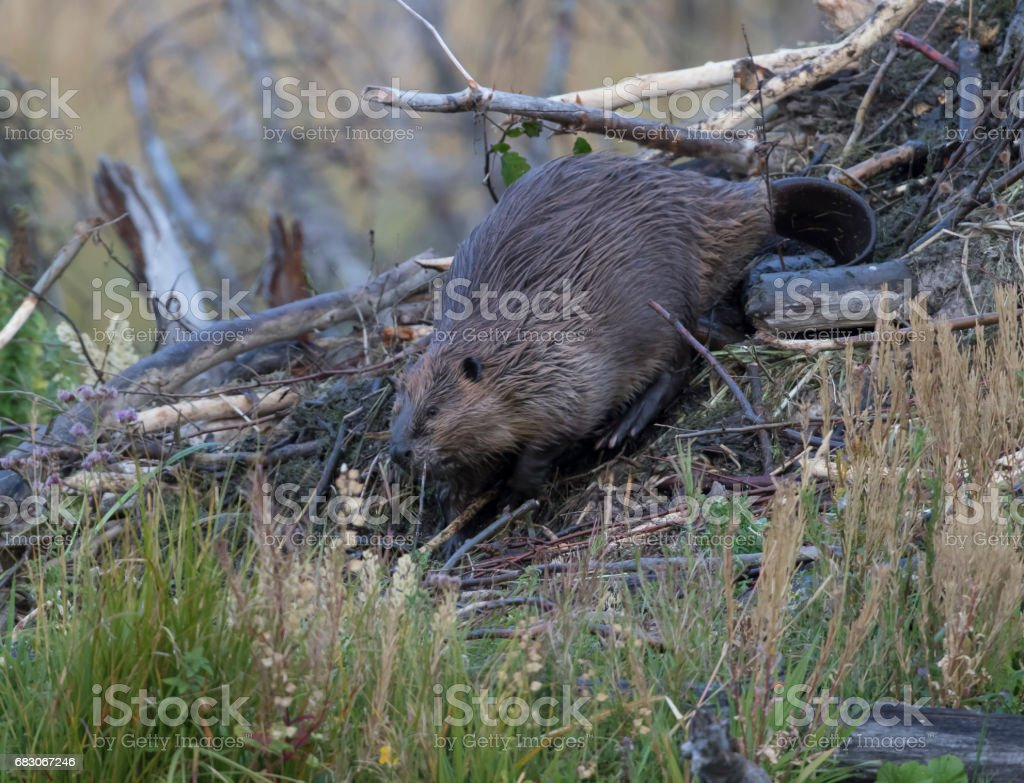 American beaver building lodge with underwater plants and sticks stock photo