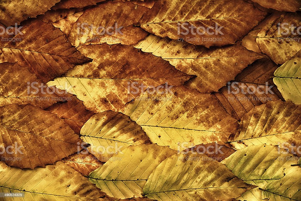 American Beech Leaves Background stock photo