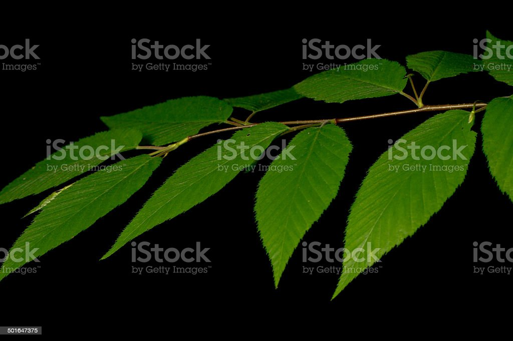 American Beech Leaves stock photo