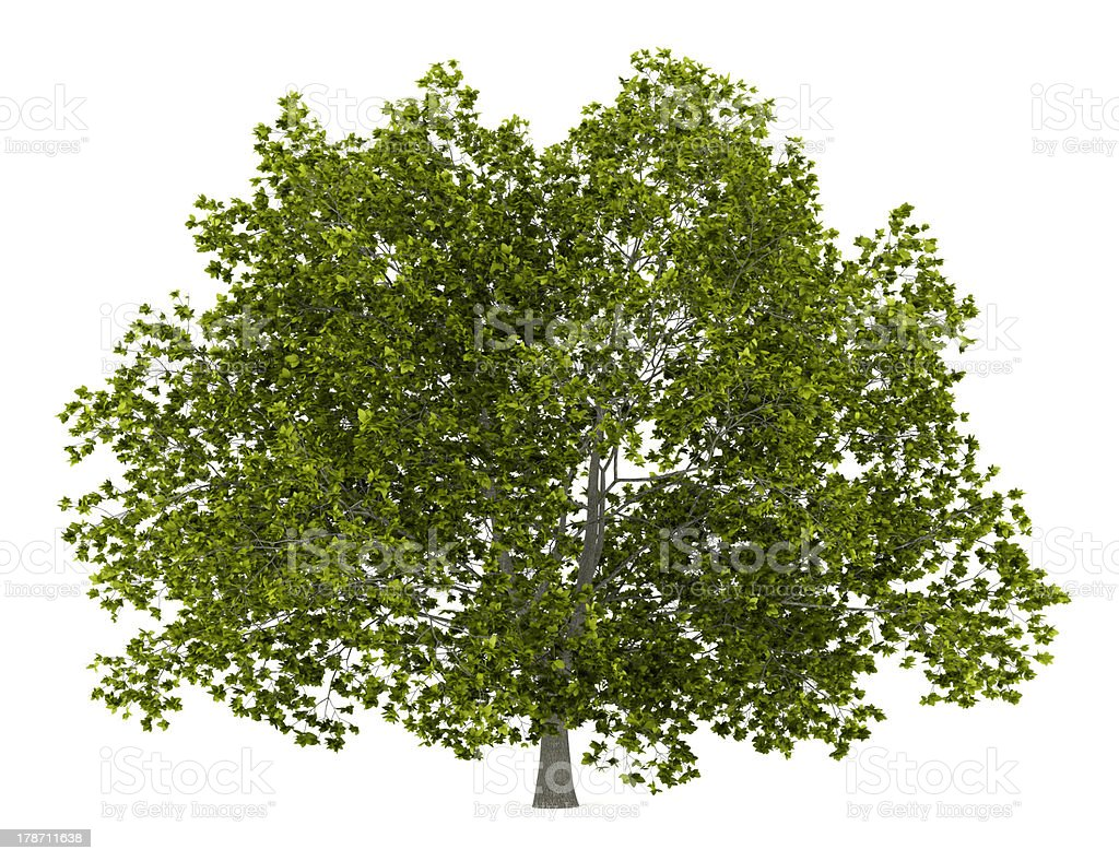 american beech tree isolated on white background stock photo