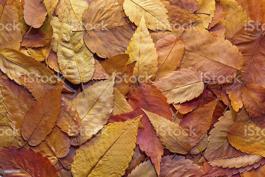 American Beech Tree Leaves Background stock photo