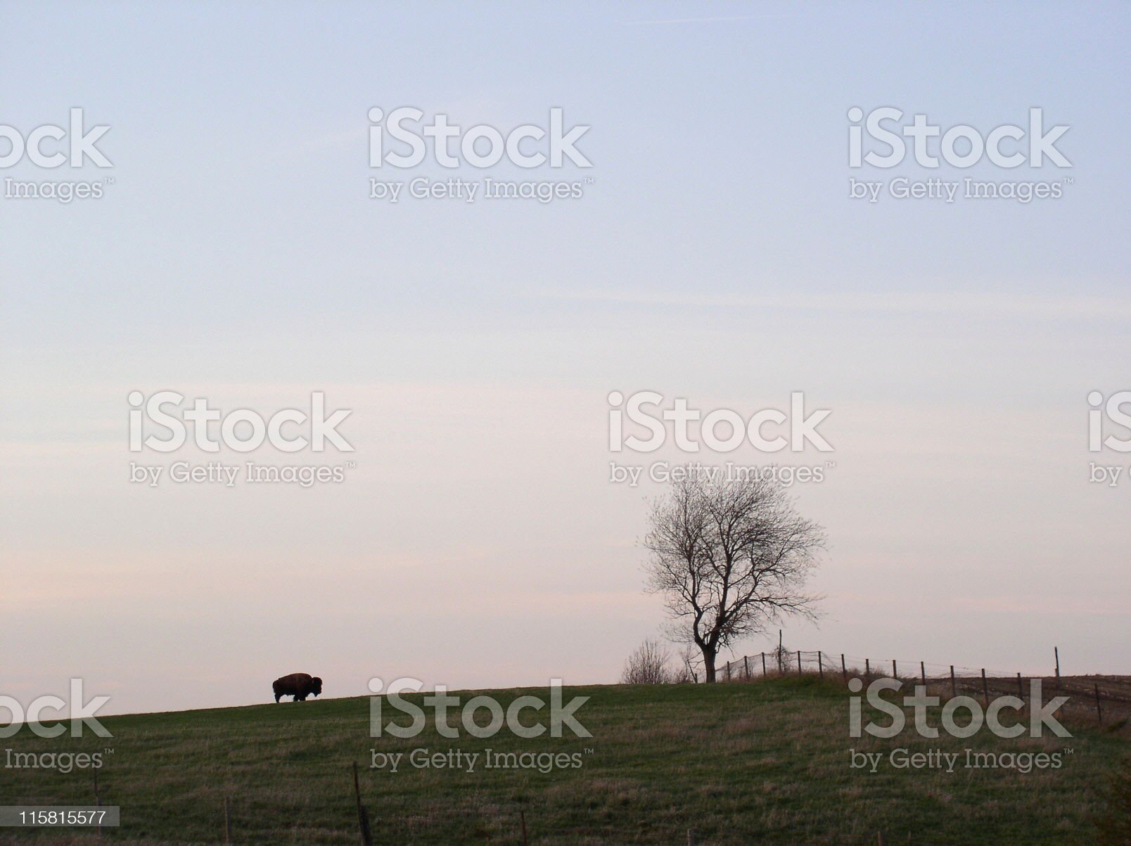 American Bison, alone on a hilltop royalty-free stock photo