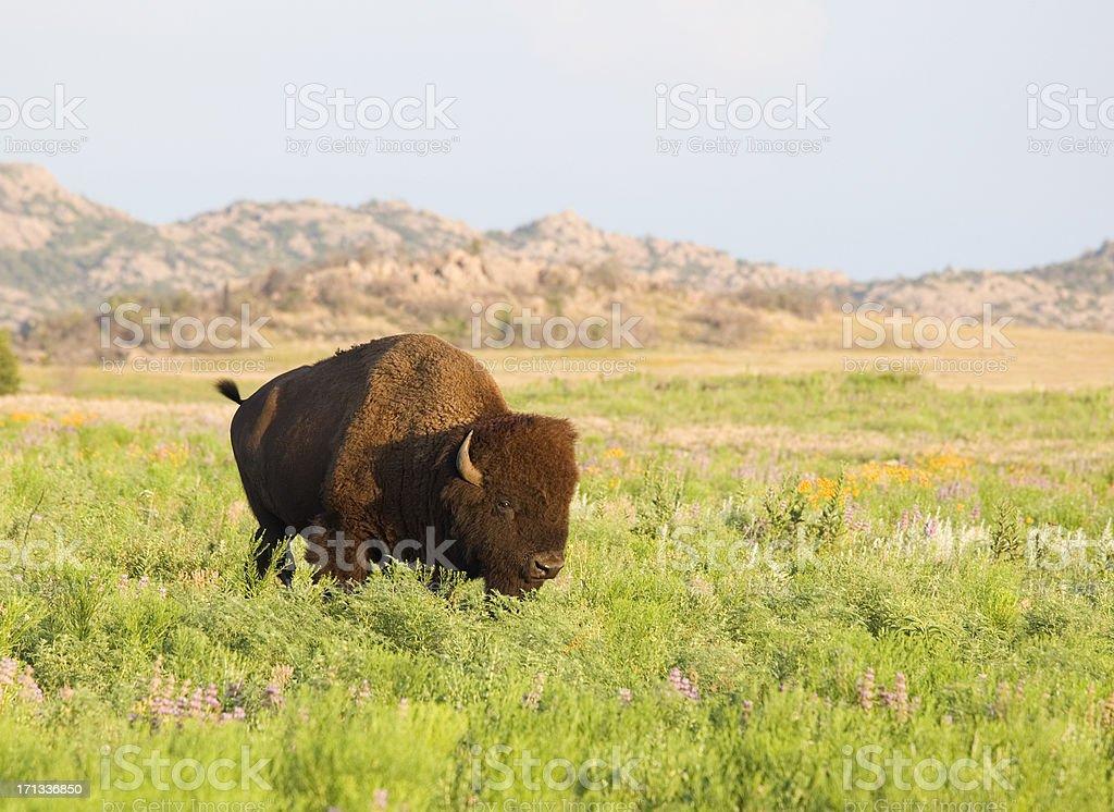 American Bison (buffalo) among wildflowers at Wichita Mountains Wildlife Refuge stock photo