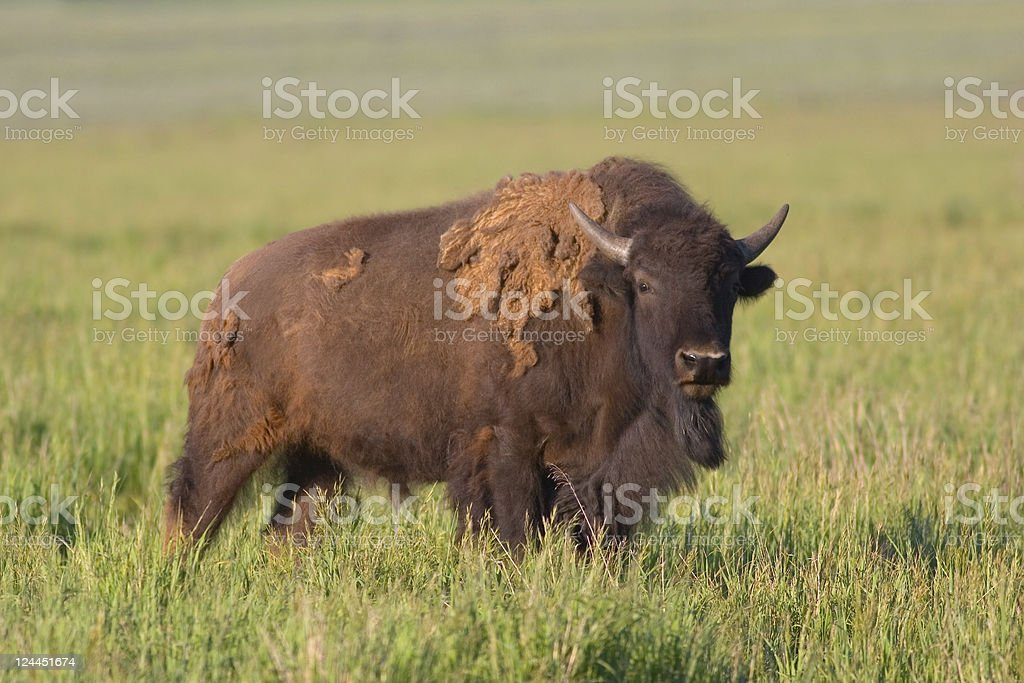 American Bison, Buffalo, adult bull molting for summer royalty-free stock photo
