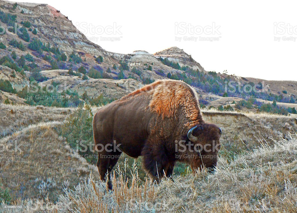 American Bison Buffalo Bull grazing in Theodore Roosevelt National Park stock photo