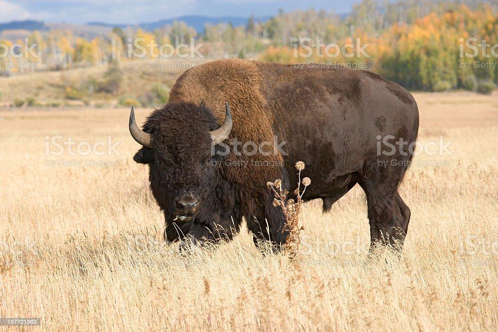 American Bison, Buffalo Grazing in Grass Field stock photo