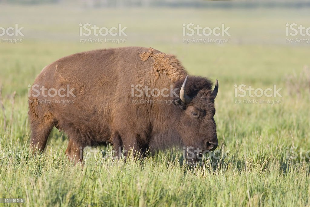 American Bison, Buffalo in Grassy Meadow stock photo