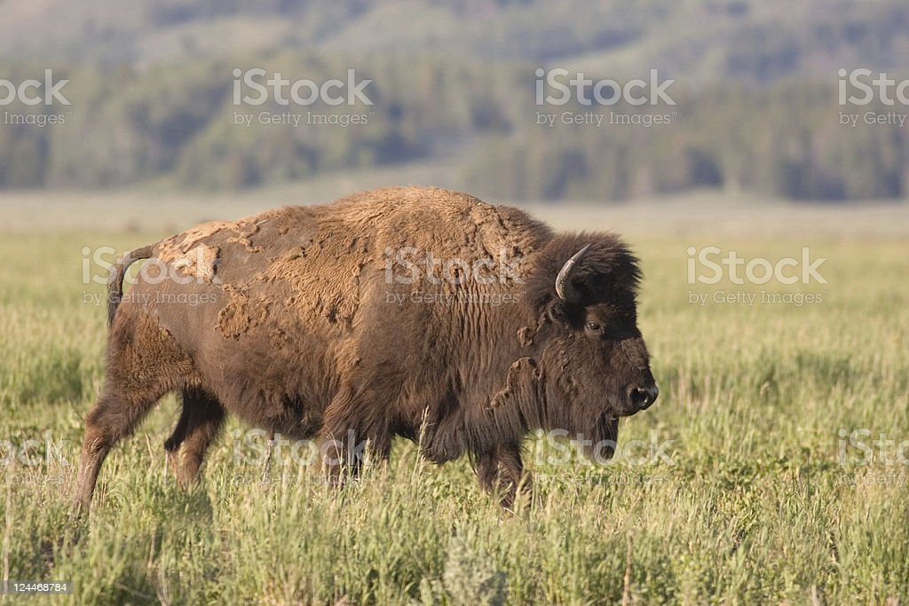 American Bison, Buffalo Molting for Summer stock photo
