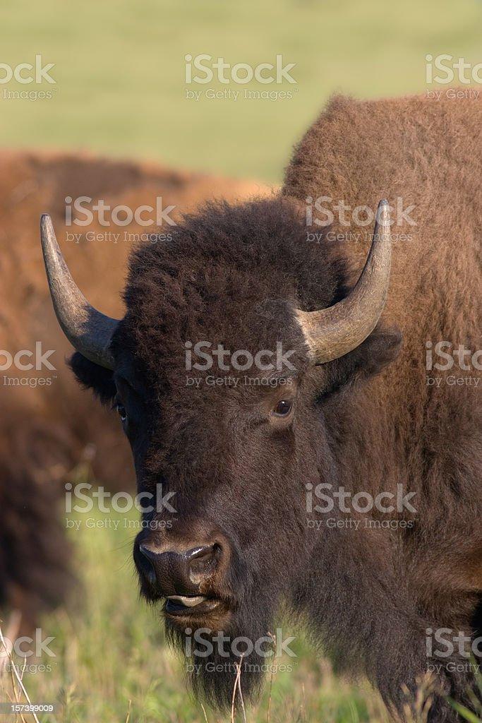 American Bison, Buffalo Portrait stock photo