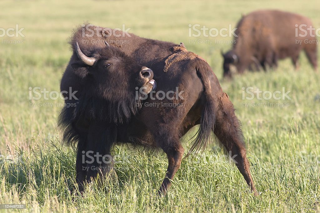 American Bison, Buffalo with a back itch stock photo