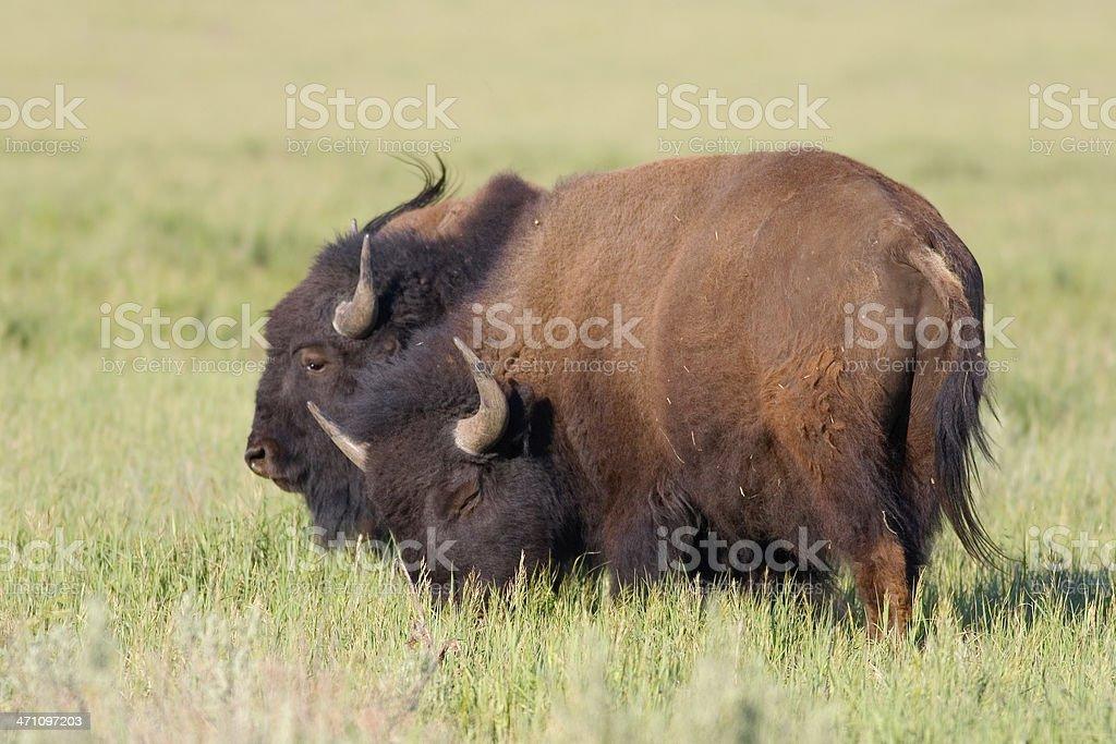 American Bison, Buffalo Wrestling stock photo