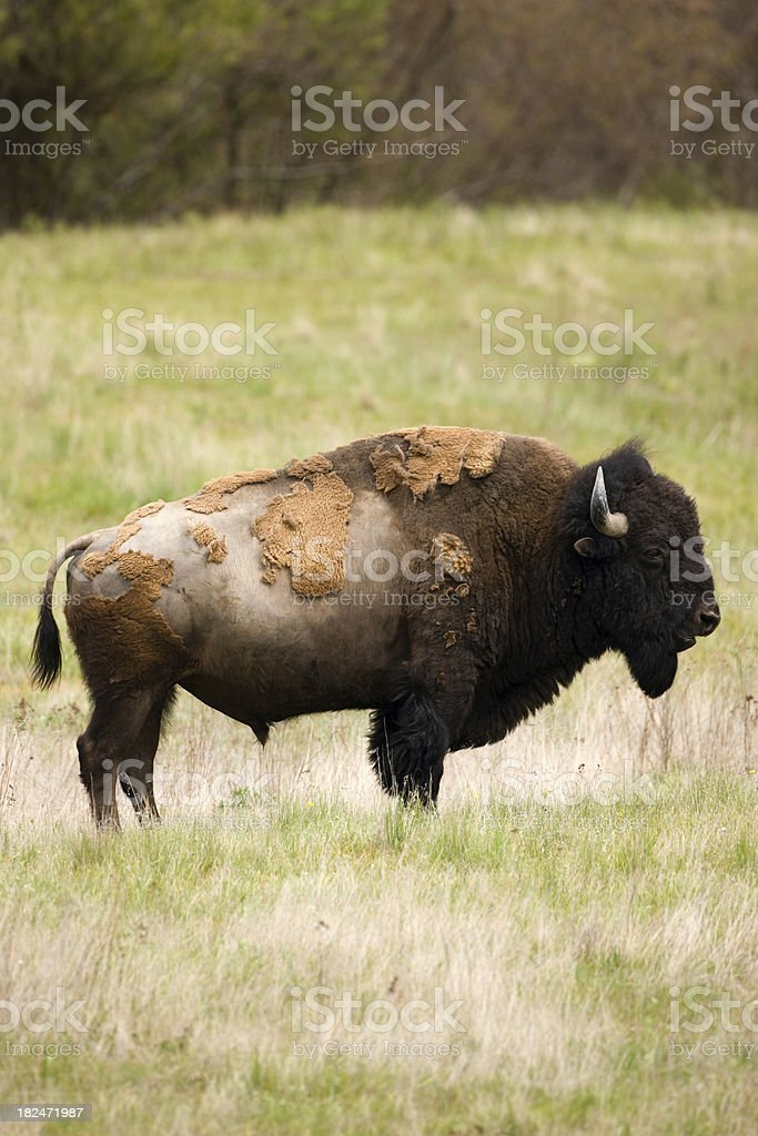 American Bison bull in spring. royalty-free stock photo