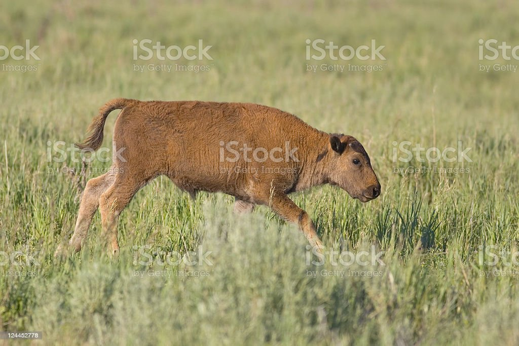 American Bison Calf Running in a Grassy Meadow royalty-free stock photo