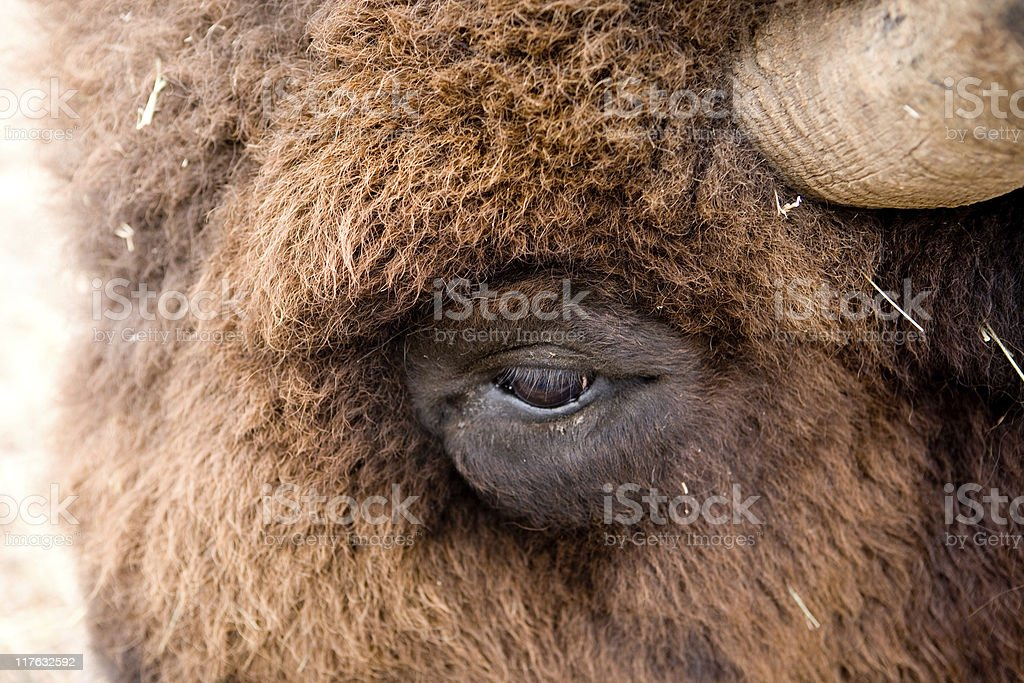 American Bison close up stock photo