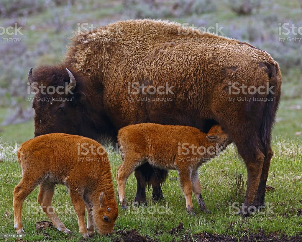 American Bison Cow and Calves stock photo