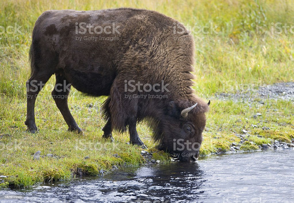American Bison Drinking from a River stock photo