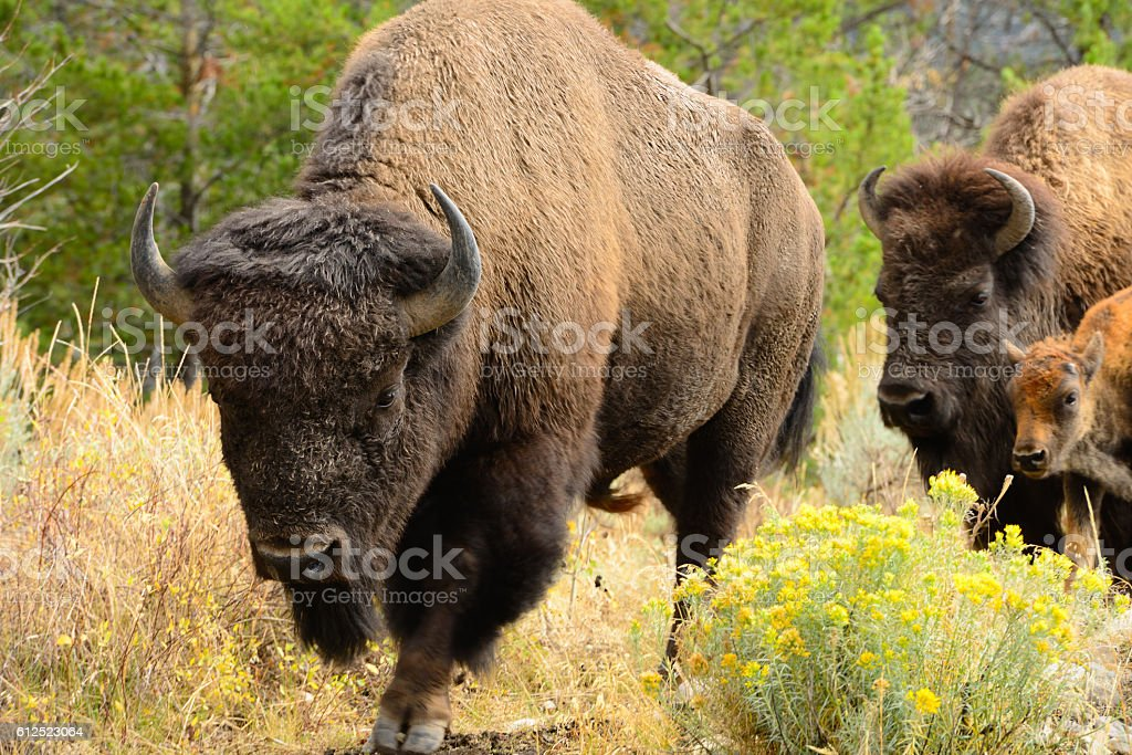 American Bison Family in Teton National Park USA stock photo