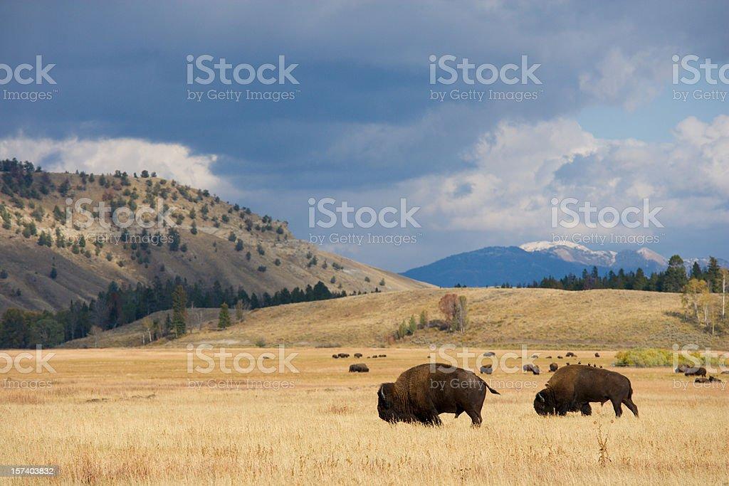 American Bison Herd on the Prairie stock photo