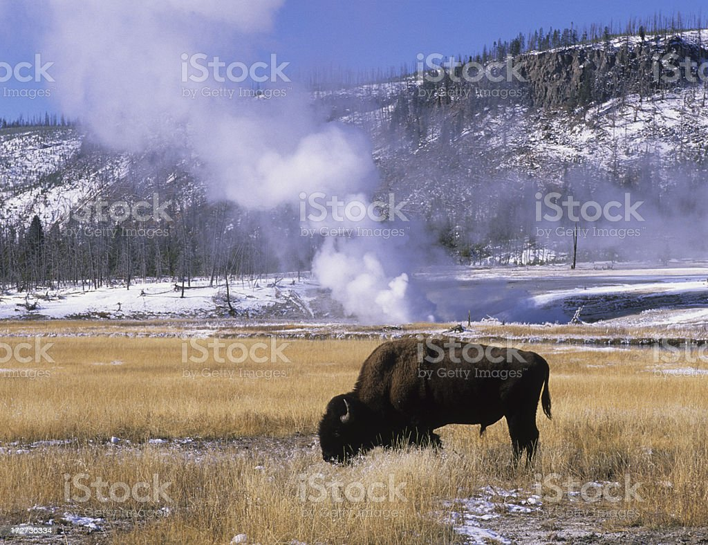 American Bison in Biscuit Basin stock photo