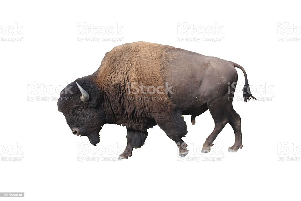 American Bison - Isolated stock photo