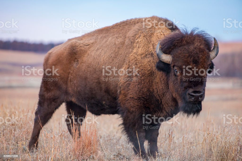 American Bison, Kansas prairie stock photo