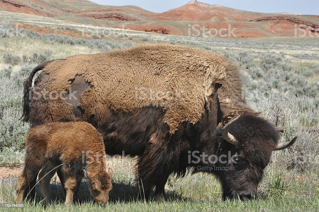 American Bison mother and calf royalty-free stock photo